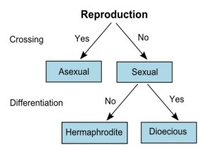 Hermaphrodite reproduction asexual